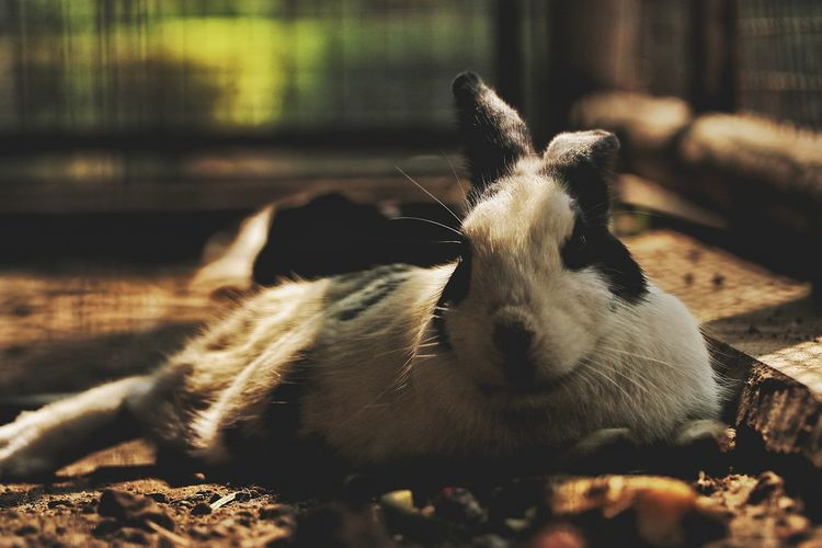 Close-Up Of Portrait Of Rabbit Relaxing Field