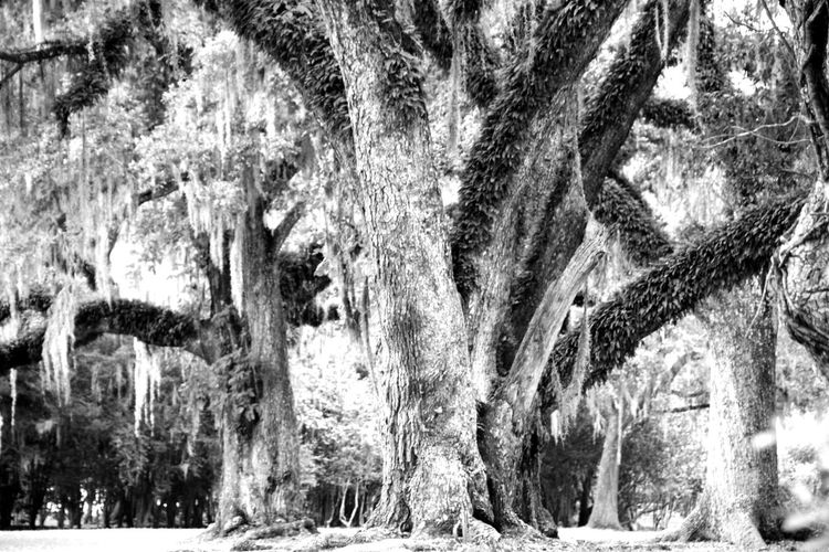 back in the oaks Avery Island For The Love Of Photography South Louisiana Taking Photos Day Tripping Oak Tree Daylight Beautiful Nature Oak Tree Shutterbug Texture No People Black And White Photography Oak Trees Oaktreeshutterbug Oak Forest