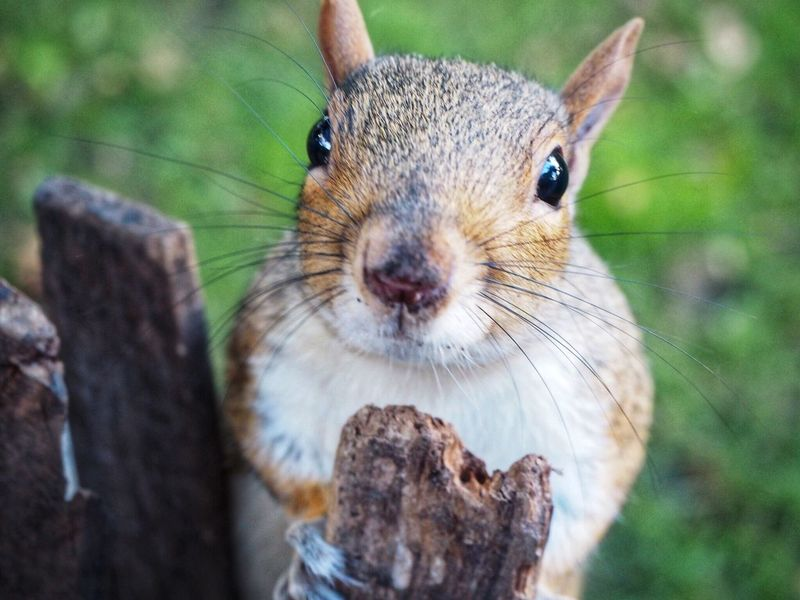 Hi, you Squarrel EyeEm Selects Animal Themes Animal Animal Wildlife One Animal Animals In The Wild Mammal Close-up Rodent No People Focus On Foreground Day Looking At Camera Squirrel Portrait Whisker Vertebrate Animal Body Part Nature Outdoors Rabbit - Animal