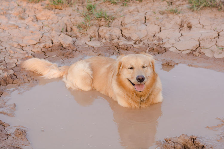 Adventure Animal Ball Cooling  Countryside Cute Dirt Dirty Dog Domestic Forest Fun Golden Happy Heat Hike Look Mammal Messy Mud Muddy Nature Outdoor Outdoors Outside Park Paws Pet Play Playful Playing Portrait Puddle Pure Retriever Road Sitting Vertical Water Wet Yellow One Animal Animal Themes Canine Pets Domestic Animals Mouth Open Looking At Camera