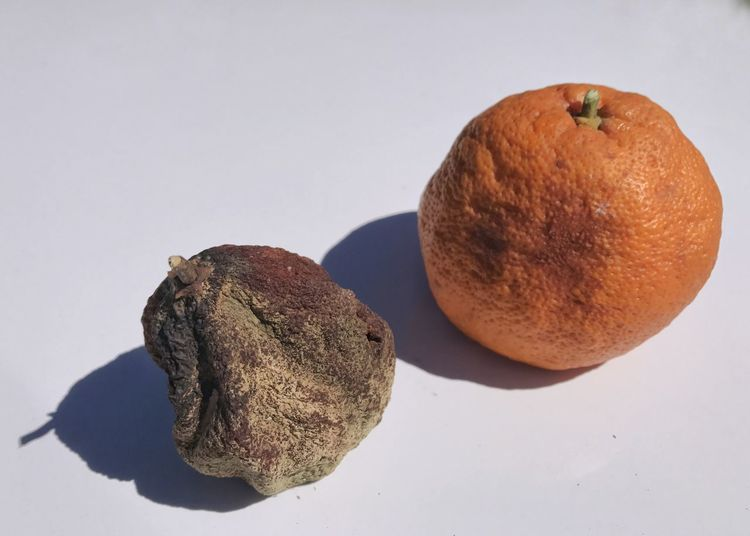 Oranges good and bad. Oranges Orange Fruit Decay Fungus Good And Bad White Background Food Healthy Eating Freshness Close-up Dried Fruit Bad Fruit Dried