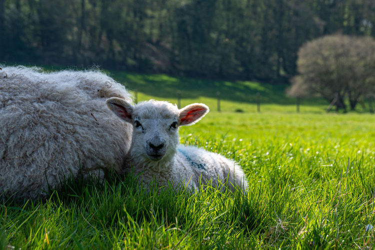 Newborn lambs laying on grass in the shade, hiding from the hot april sunshine