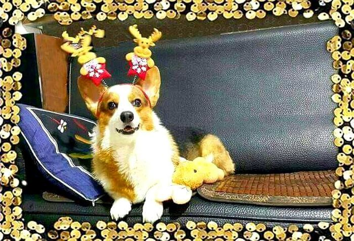 Pets Corner Welsh Corgi Pippin, Corgi, Dog Cuteeee♥♡♥ Smile❤ EyeEm Nature Lover Puppy Love Happiness Lifeisbeautiful Love Is In The Air