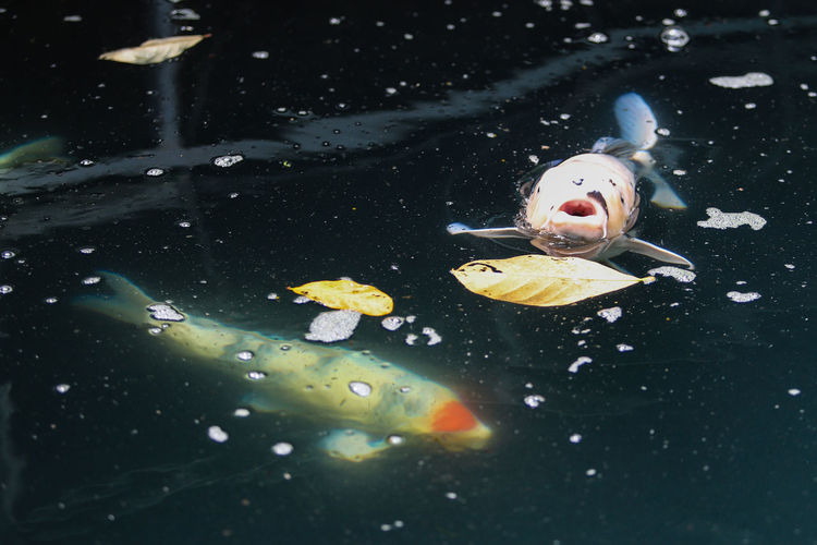 High angle view of fish swimming in pond