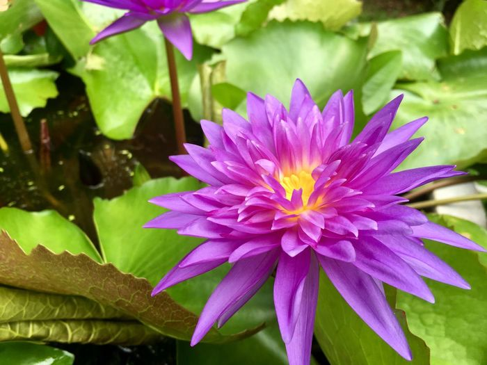 Water lily, lotus flowers Flower Flowering Plant Plant Vulnerability  Petal Fragility Freshness Beauty In Nature Flower Head Growth Close-up Leaf Plant Part Purple Pink Color Nature Water Day Focus On Foreground