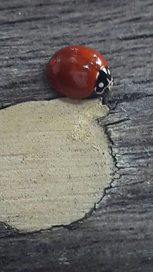 Ladybug Insect Beetle Cracked Deterioration