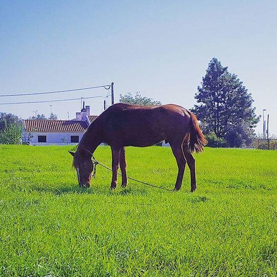 Cavalo Cavalos Horse Horses Brownhorse Gipsyhorse