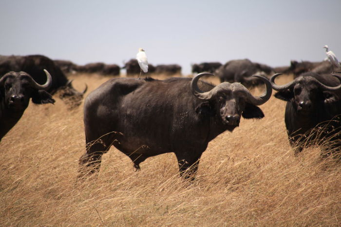 Animal Animal Themes Buffalo Clear Sky Countryside Domestic Animals Domestic Cattle Egret Field Focus On Foreground Full Length Herbivorous Herd Hoofed Mammal Livestock Mammal Nature Non-urban Scene Pasture Togetherness Tranquil Scene Tranquility Zoology