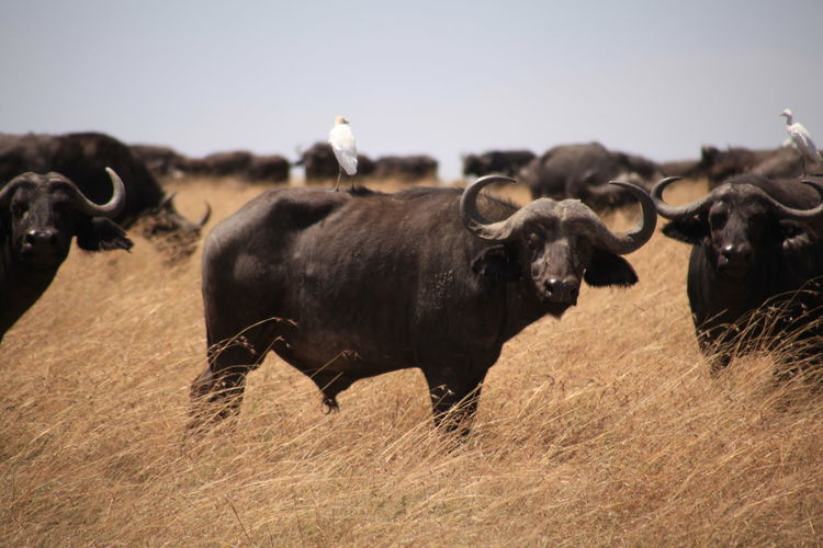 Buffalos in field