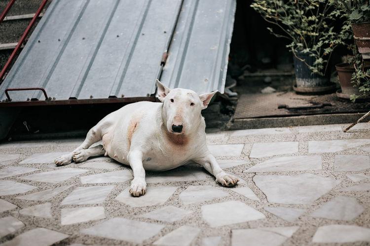 Portrait of dog lying down on footpath