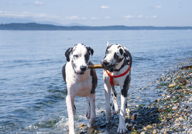 Very happy harlequin great danes playing stick fetch on a rocky beach shore, sharing stick.