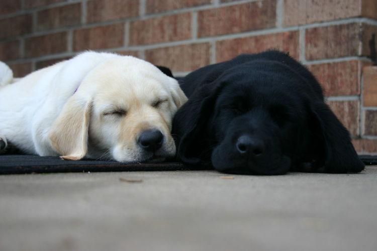 Labrador retrievers sleeping on sidewalk
