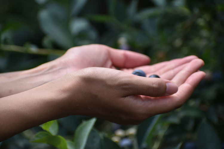 Cropped Hands Of Person Holding Blueberries At Farm