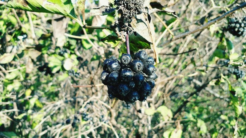 Plant Nature Tree Fruit Leaf Growth Outdoors No People Day Hanging Close-up Beauty In Nature Freshness Aronia Aronia Berries Smartphone Photography Food And Drink Blackberry Healthy Eating Food Ripe Agriculture Focus On Foreground Branch Bunch Grape