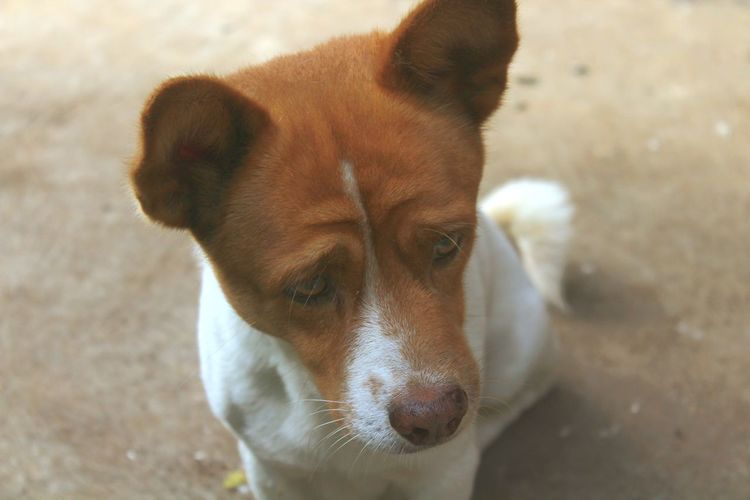 doggy Beagle