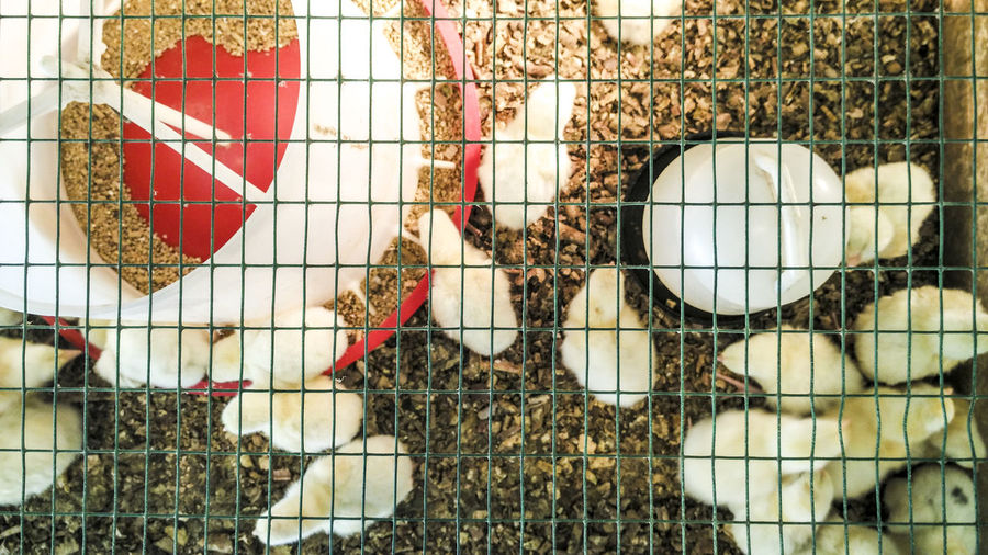 Directly Above Shot Of Baby Chickens In Cage