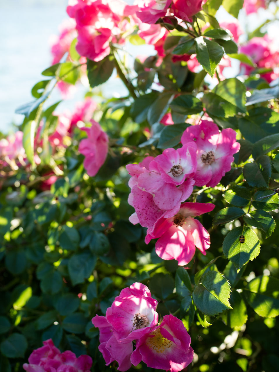 CLOSE-UP OF PINK ROSE FLOWERING PLANT