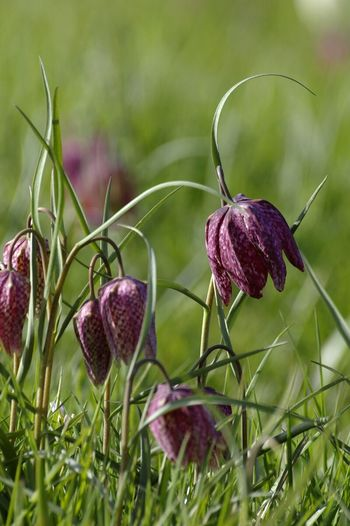 fritillary. Suffolk. U.K. Focus On Foreground Plant Close-up Flower Fragility Beauty In Nature Botany Fritillaria Meadow Suffolk, United Kingdom