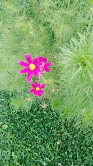Flower Nature Outdoors Pink Flower 🌸 Pink Medusangel