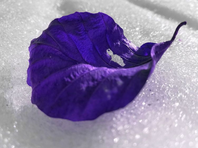 Different colour.. Selective Focus Snow Leaf Different Lovely High Angle View High Section Exceptional Photographs Multi Colored EyeEm Selects EyeEm Masterclass Fantastic Cold Temperature Abstract Eyeemphotography EyeEm Plant Violet Like Fantasy Frozen The Week On EyeEm Details Of Nature EyeEm Best Edits Purple Nature Beauty In Nature Fragility No People Freshness Close-up EyeEm Ready   EyeEmNewHere AI Now