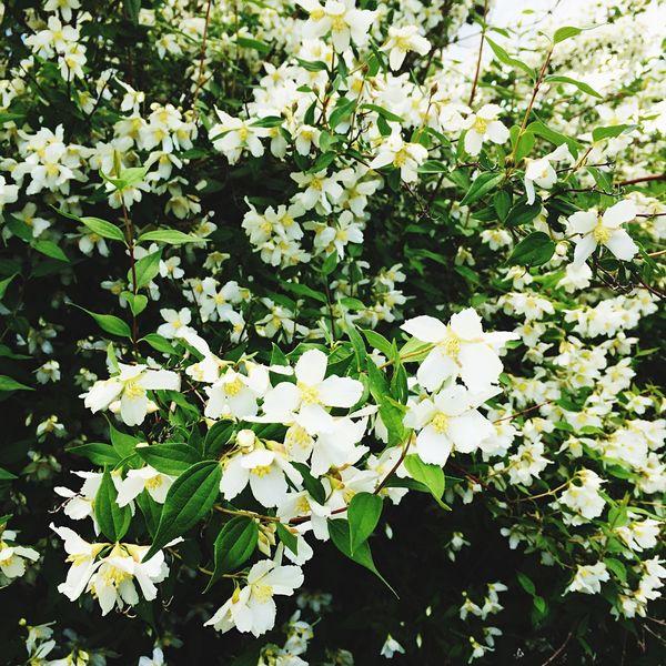 Syringa Flowers Fragrance Garden Summer
