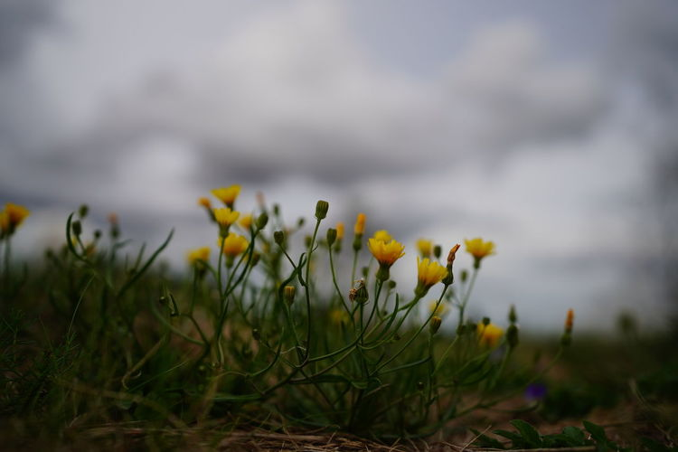 Beauty In Nature Close-up Crocus Day Field Flower Flower Head Flowering Plant Fragility Freshness Grass Green Color Growth Land Nature No People Outdoors Plant Selective Focus Springtime Tranquility Vulnerability  Yellow