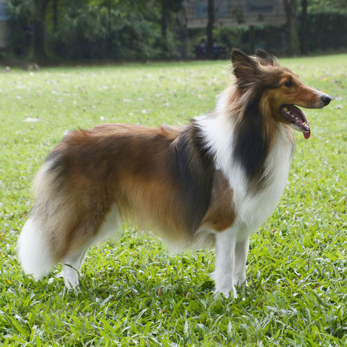 Animal Animal Themes Canine Dog Dog Outdoors Domestic Domestic Animals Fur Mammal No People One Animal Pets Sheltie Shetland Sheepdog