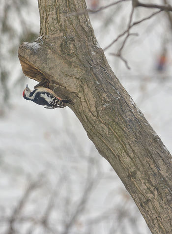 Male great spotted woodpecker (Dendrocopos major) on tree brunch Beauty In Nature Branch Close-up Cold Temperature Day Dendrocopos Major Focus On Foreground Great Spotted Woodpecker Low Angle View Nature No People Outdoors Snow Tree Tree Trunk Winter Wood - Material Woodpecker