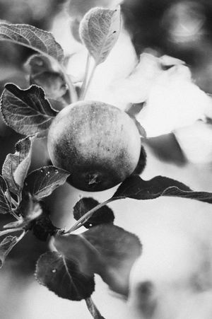 Black and white photo with selective focus of ripe apple on a branch with leaves and beautiful out of focus bokeh Nature Black And White Black And White Photography Bw Bw_collection B&w B&w Photography Monochrome No People Close-up Beauty In Nature Fruit Ripe Selective Focus Healthy Eating Vegan Vegetarian Vegan Food Hanging Fruit Apple Still Life Wall Art Art Work Art Sweden