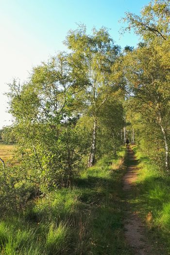 Birches Birch Tree Nature Reserve Heathland  Moor  Moorland Trekking Trekking Path Countryside Landscape Summer Autumn Evening Footpath Hiking Hike Tree Sky Grass Green Color