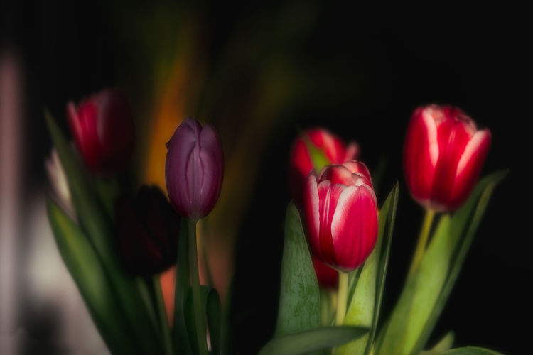 Flower Flowering Plant Plant Freshness Beauty In Nature Close-up Fragility Tulip Vulnerability  Nature Petal Focus On Foreground No People Flower Head Red Pink Color Growth Green Color Inflorescence Selective Focus Outdoors Springtime Flowerbed Flower Arrangement Purple
