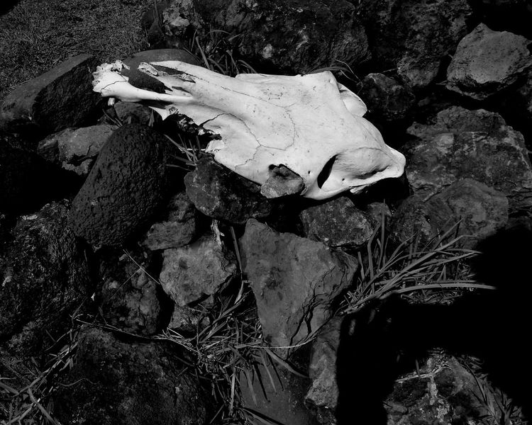 Skull Cow Rapa Nui Death In Nature Monochrome _ Collection Photooftheday Black Black & White