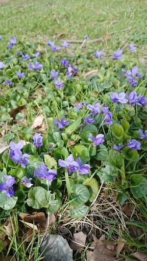 Flower Nature Beauty In Nature Growth Plant Field Freshness Outdoors Fragility Purple No People Flower Head Day Close-up March Violets Just Flowers Springtime Beauty In Nature Soft Focus Flowers Violet Flower Maarts Violtjes