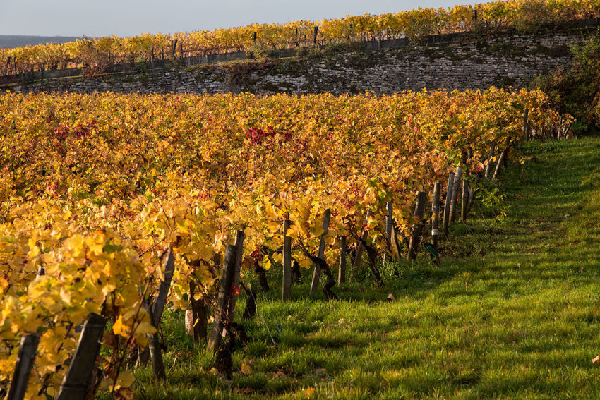 Wall Autumn Vineyard Vines Field Leaf Leaves Yellow Orange Color Agriculture Field Outdoors Growth Abundance Nature No People Rural Scene Beauty In Nature Sunlight Day Freshness Scenics Grass Sky Tree Landscape Tranquility Plant Flower