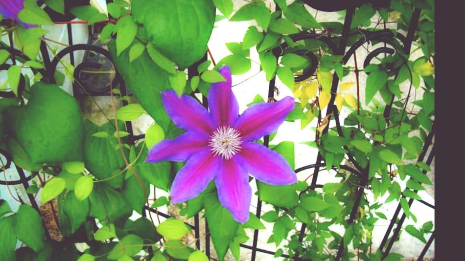 Clematis Clematis Vine Flower Gardening Flower Photography Trellis Flower Up Close Petal_perfection Flowers, Nature And Beauty Plant Photography Climbing A Trellis Flowering Vines Single Flower Greenery Purple And Pink Blossom Flowers Blooming Petals Flower Collection Flower Petals Petals By Nature