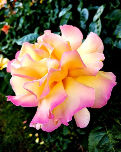 Quilted Petals Flower Petal Nature Flower Head Rose - Flower Pink Color Beauty In Nature Plant Fragility Growth Outdoors Freshness No People Close-up Day Kent Countryside Peach Roses Peach Rose Freshness Softness Nature Roses Green Color Paint The Town Yellow