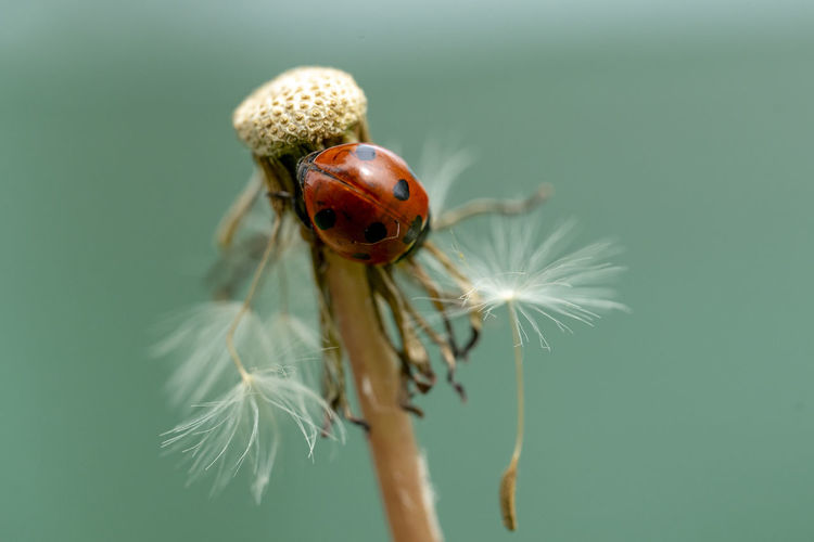 Ladybird perched on a dandelion in the field shortly after the rain. Ladybug is a symbol of luck and happiness. Ladybird Macro Flower Dandelion Nature After The Rain Symbol Of Luck Symbol Of Happiness Plant Bug Wildlife & Nature