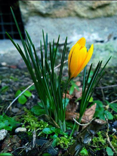 Krokus Crocus Flower Spring Springtime Spring Flowers Frühling Frühlingsbote Coulorful Macro Garten Garden Small But Mighty Blume Reborn
