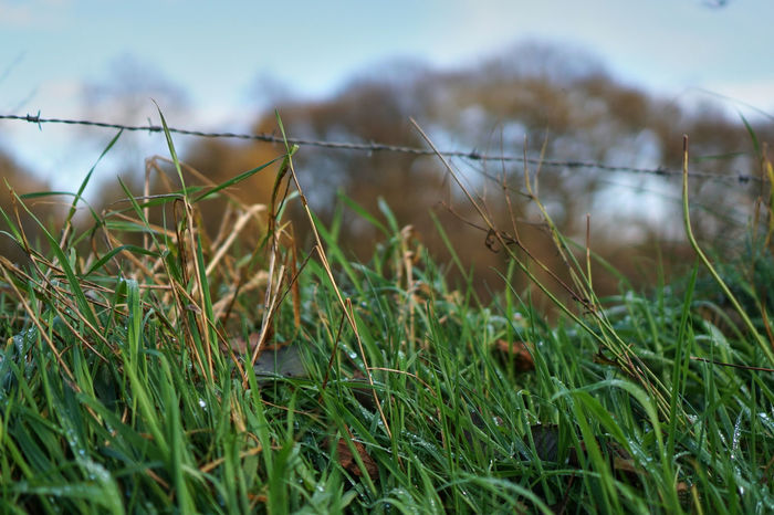 Barbed Wire Drops Meadowlands Beauty In Nature Close-up Day Grass Green Color Nature No People Plant