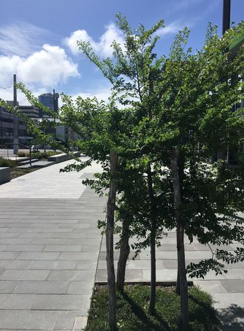 New paving and trees in a city street Tree Outdoors No People City Sidewalk Pavement No Pedestrians City Street