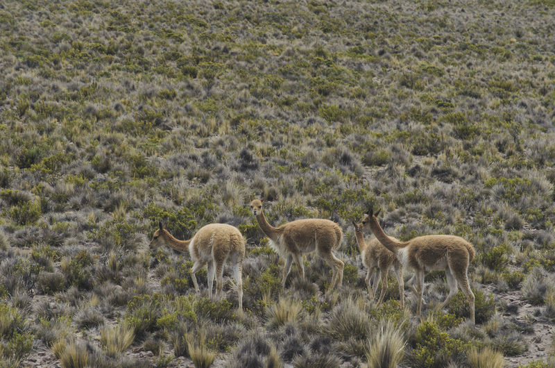 High angle view of guanaco on field