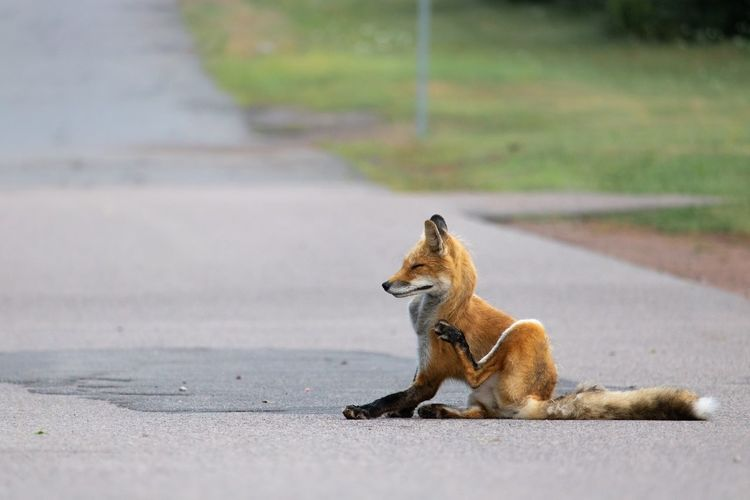 Late for work because I was getting pictures of this guy! Fox Foxes Nature Nature_collection Animals Animal Themes Animal Day Naturelovers Canon Tail Orange Color