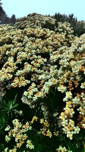 Good Looking Edelweis Edelweissflower Merbabumountain Beautiful Nature AwesomeFlowers