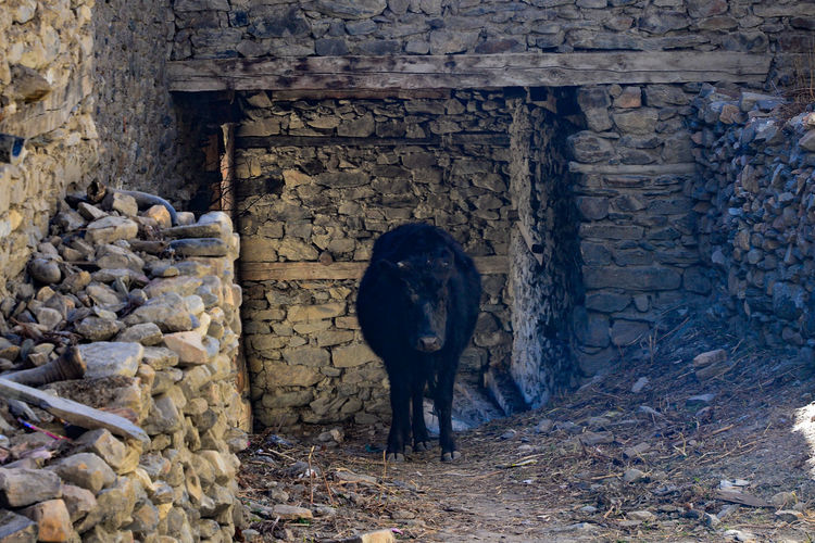 Nepal Animal Themes Architecture Building Exterior Built Structure Day Domestic Animals Livestock Mammal Nature No People One Animal Outdoors Peasant Farming