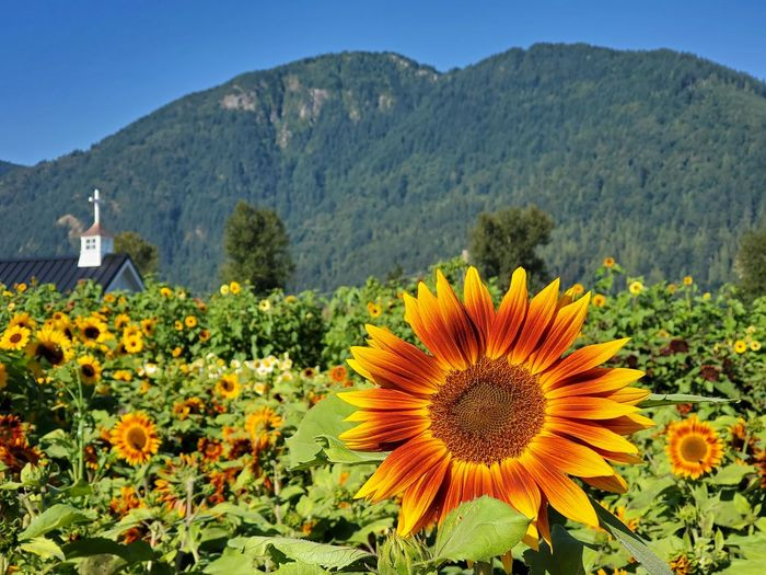 Sunflowers on field by mountain against clear sky
