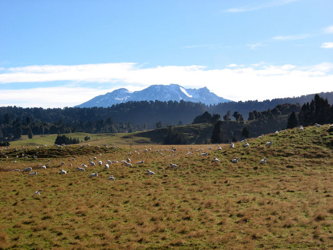 New Zealand Beauty In Nature Copy Space Day Field Landscape Mountain Mountain Range Nature New Zealand No People Outdoors Scenics Sheep Snowcapped Summer Tongariro Tranquil Scene Travel Vulcano