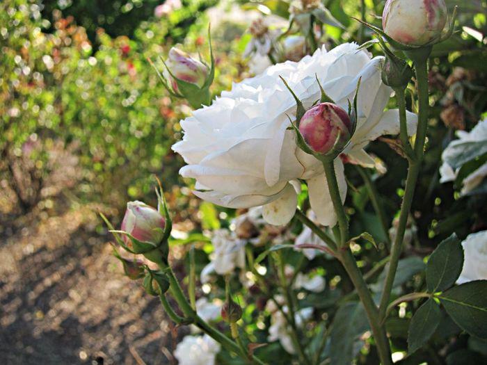 Fair Bianca Roses Garden Fair Bianca White