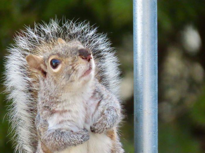 """""""Wow that's high!"""" Squirrel 🐿 closeup looking up longingly at the peanuts in the feeder! Animal themes EyeEm nature lover One Animal Animal Wildlife Focus On Foreground"""