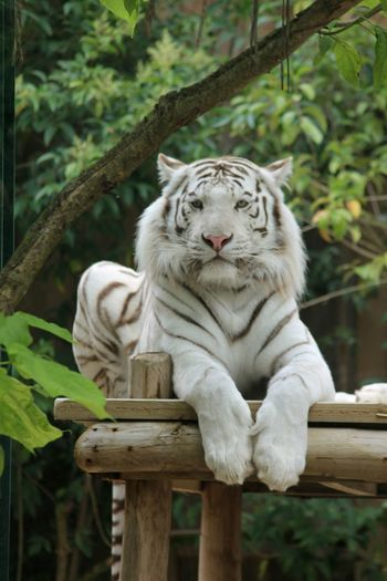 One Animal Animal Themes Animals In The Wild Feline No People Beauty In Nature Beautiful Nature Outdoors Animal Wildlife Animal Nature LoveNature Tigers❤ Tiger Love