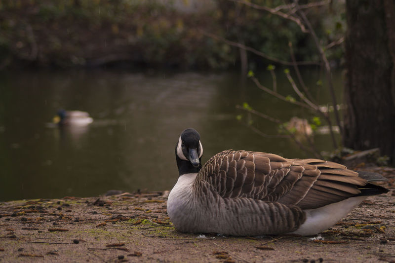 Portrait of canada goose at riverbank